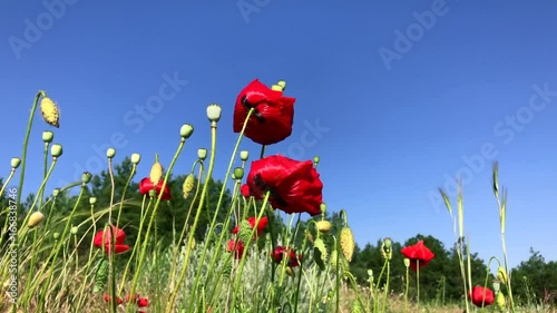 Blossoming red poppies against the blue sky, bottom view, Ukraine