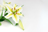 blooming lily isolated on white background