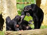 Chimpanzé  - 166851562