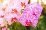 Fototapety Beautiful orchid flower in the garden at winter or spring day for postcard. beauty and agriculture idea concept design. Orchids are export business products of Thailand that make a lot of money.