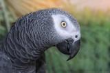 Zamknij się afrykańska szara papuga