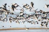 Ptaki Openbill latające na niebie, seria charakter, Stado Dżoków Zwykłych w locie