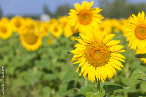 Plexiglas Geel yellow field of sunflowers