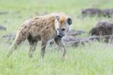 Spotted hyena (Crocuta crocuta) walking on savanna, Masai Mara National Reserve, Kenya