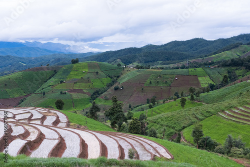 green rice field on terrace in mountain valley. beautiful nature landscape in rainy season. agriculture industry