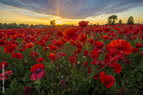 Fotobehang Rood paars Poppy meadow in the beautiful light of the evening sun