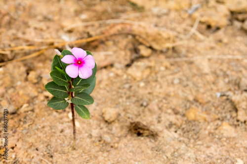 Pink flower stay on brown sand background (Concept for business survival in the Poster