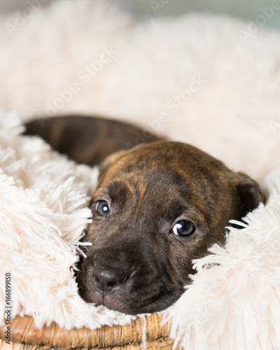 Deurstickers Franse bulldog Mix breed brindle puppy canine dog lying down on soft white blanket looking happy, pampered, hopeful, sweet, friendly, cute, adorable, spoiled,