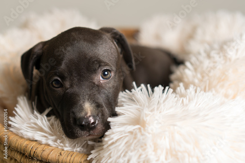 Deurstickers Franse bulldog Mix breed dark grey puppy canine dog lying down on soft white blanket in basket looking happy, pampered, hopeful, sweet, friendly, cute, adorable, spoiled while making eye contact