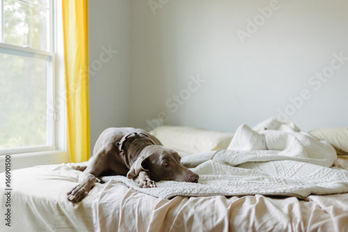 Dog laying in messy bed in home bedroom