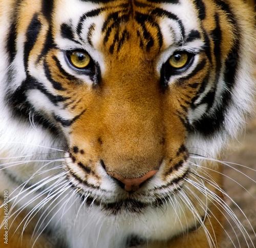 Fotobehang Tijger tiger face full frame