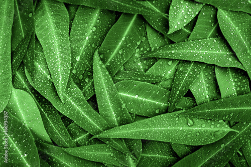 The Nature green Eucalyptus leaves with raindrop  background - 166934387