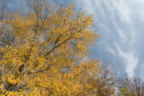 Golden willow trees