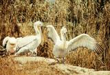 Jesienią krajobraz pelikanów, selektywne fokus