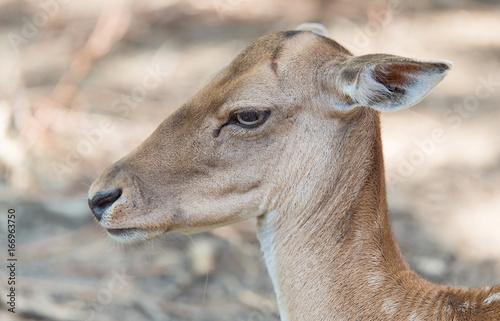 Closeup photo of a deer head