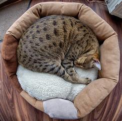 Savannah cat in round bed