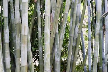 Bambus als Hintergrund © kelifamily