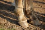 Fototapeta Horses - konie - kopyta na piasku © agarianna