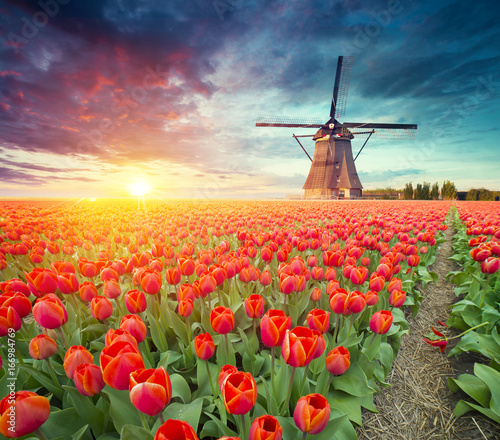traditional Netherlands Holland dutch scenery with one typical windmill and tulips, Netherlands countryside - 166984769