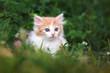 Quadro fluffy kitten posing on grass