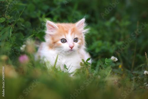 fluffy kitten posing on grass