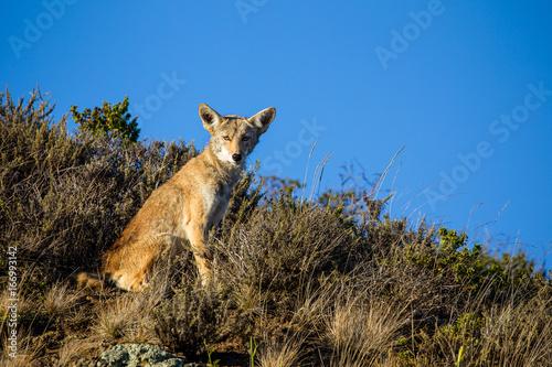 Kojote (Canis latrans) in der Golden Gate National Recreation Area nördlich von San Francisco, Kalifornien, USA Poster