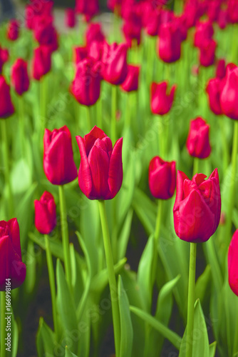 Blooming tulips with red colorful petals and green leaves in a field at keukenhof in springtime during the day in Holland.