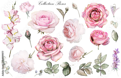 Fototapeta Set watercolor elements of rose, collection garden and wild flowers, leaves, branches, illustration isolated on white background, eucalyptus, bud