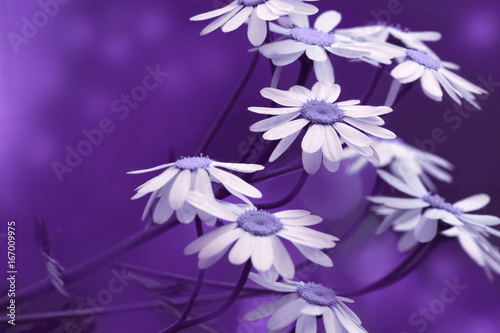 Foto op Canvas Violet White-blue daisies bloom on a sunny summer day. Beautiful purple floral background of forest flowers. Close-up. Nature..