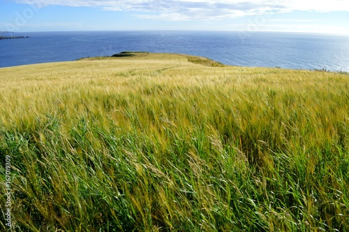 Fields of barley on the cliffs at Stonehaven in Scotland