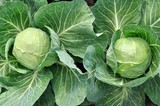 close-up of organically cultivated ripening cabbage in the vegetable garden - 167025151
