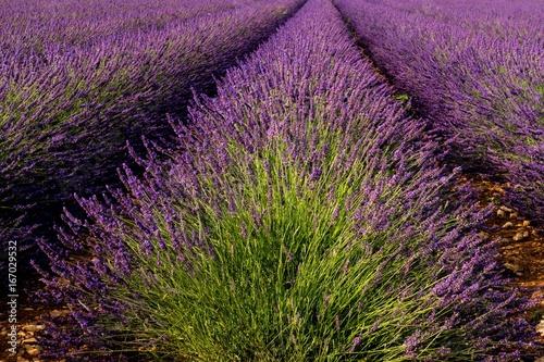 Blühender Lavendel in der Provence bei Valensole