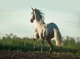 perlino akhal-teke koń jest wolny od wschodu słońca