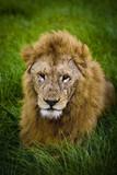 Lew na sawannie w Afryce.