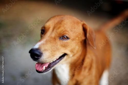 Portrait of a cute brown dog.