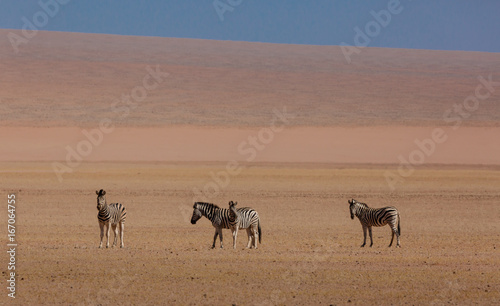 Zebras in the NambRand National park, a semi desertic area next to the Namib Desert