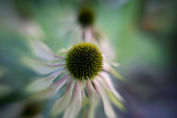 dying dhalia vintage color, autumn feeling, blurred, macro