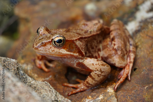 brown common frog