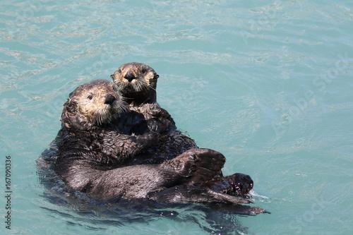 Seeotter im Hafen von Seward, Alaska Poster