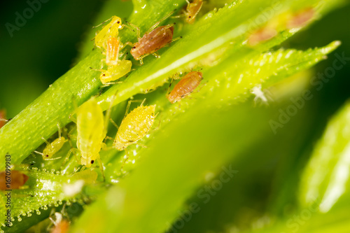 Aphids on a green leaf in nature