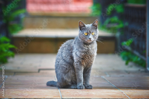 Beautiful gray cat with yellow eyes sitting on the street