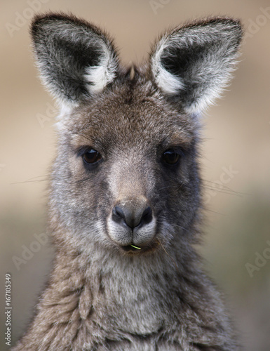 Portrait of a kangaroo, Snowy Mountains, New South Wales, Australia