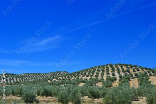 Papiers peints Bleu fonce Olive grove landscapes of Andalusia