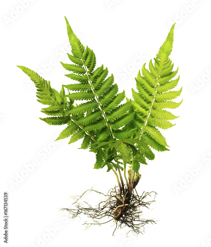 Fern with roots and frond (without soil) isolated on white background, with clipping path
