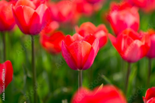 Beautiful red tulips in nature