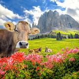 Kuh mit Blumen im Rosengartengebirge