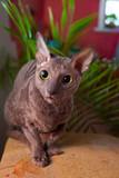 Szary kot siedzi i patrz? C na kamery