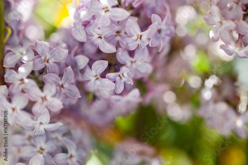 Bez fresh, lilac flowers background
