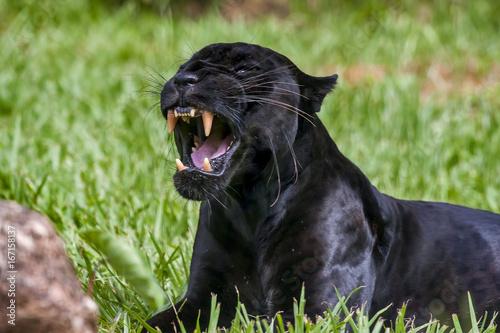 Foto op Plexiglas Panter Onça-preta (Panthera onca) | Jaguar