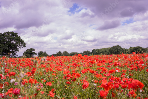 Tuinposter Purper Red Poppy field at late afternoon in the summertime in Leicester-shire UK